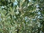 Olivovník foto 3