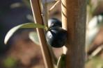 Olivovník foto 4